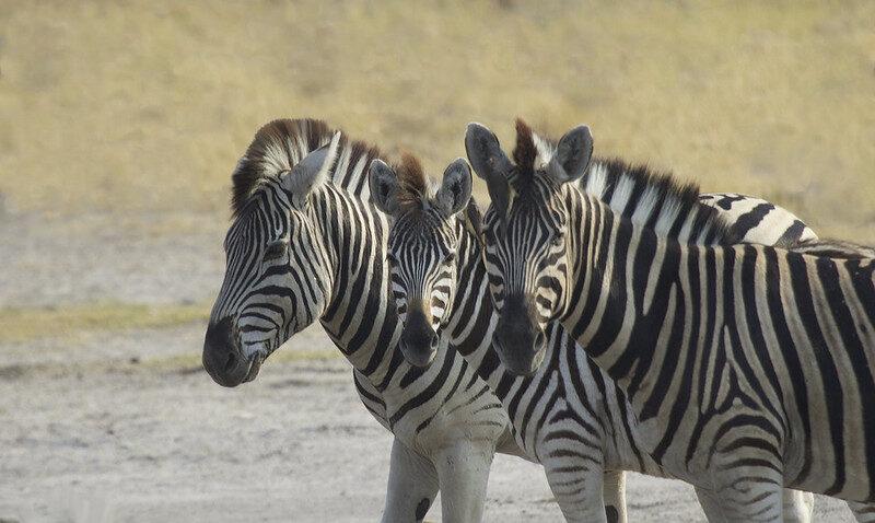 Mountain Zebra af Gregory Slobirdr Smith, flickr.com